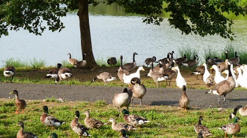 For the Birds--ducks and geese